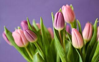 Pielęgnacja tulipanów